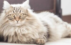 how to clean long-haired cats