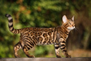 large litter box for bengal cats