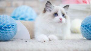 best litter box for ragdoll cats