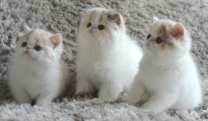 litter box for persian cats