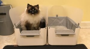 How to Choose the Best Litter Box for Ragdoll Cats