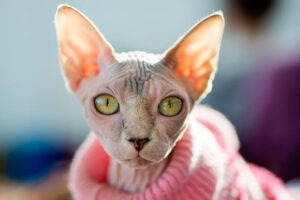 suitbale litter box for sphynx cats