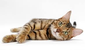 suitable litter box for bengal cats