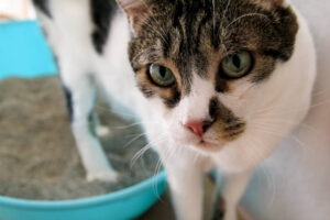 why do cats eat their litter