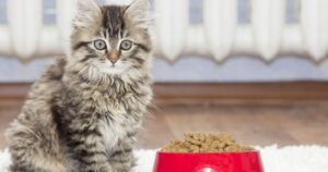 how much dry food should a kitten eat