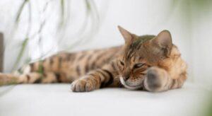 sympotom of cat getting heatstroke
